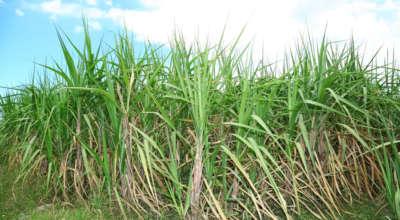 Polje šečerne trske